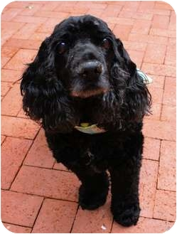 Cocker Spaniel Dog for adoption in Santa Barbara, California - PRINCE