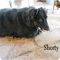 Adopt A Pet :: Shorty - Tucson, AZ
