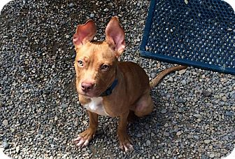 Pit Bull Terrier Puppy for adoption in Fort Wayne, Indiana - Ciara