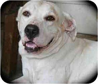 Hound (Unknown Type)/Labrador Retriever Mix Dog for adoption in Kingwood, Texas - Axel