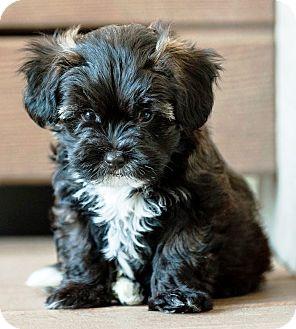 Battle Creek Mi Toy Poodle Meet Benson A Pet For Adoption