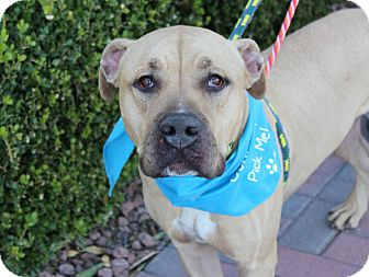 Mastiff Mix Dog for adoption in Las Vegas, Nevada - DEPUTY DAWG
