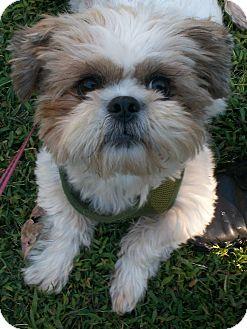 Washington Dc Shih Tzu Meet Casey A Pet For Adoption