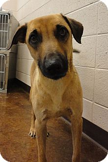 Whippet Mix Dog for adoption in Scottsboro, Alabama - C-11