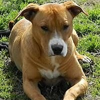 Pit Bull Terrier Dog for adoption in Memphis, Tennessee - Hillary