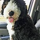 Adopt A Pet :: Rocky - ADOPTION PENDING
