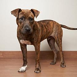Mastiff Puppies for Sale in Buffalo Minnesota - Adoptapet com
