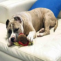 Adopt A Pet :: RANGER - Hampton Bays, NY