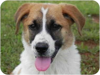 Portland, ME - St  Bernard  Meet Laverne Marie a Pet for Adoption