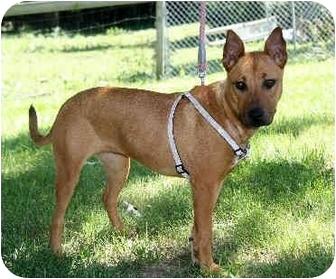 Kansas City, MO - Pharaoh Hound. Meet Olivia a Pet for ...