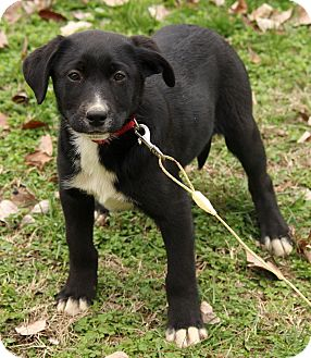 Labrador Retriever/Border Collie Mix Puppy for adoption in Washington, D.C. - Kassidy