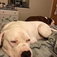 Adopt A Pet :: Dirk-DE - Fulton, MO
