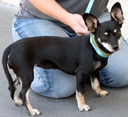 Chihuahua · Chihuahua Mix Puppy