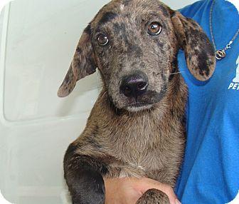 Australian Shepherd/Catahoula Leopard Dog Mix Puppy for adoption in Oviedo, Florida - Jazz
