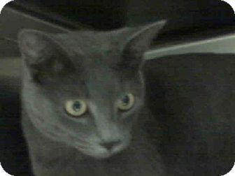 Russian Blue Cat for adoption in Oviedo, Florida - Mo