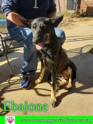Pensacola, FL - German Shepherd Dog  Meet Ebalone a Pet for