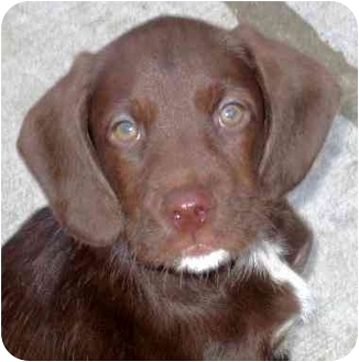 Chicago Il German Wirehaired Pointer Meet Fargoadopted A Pet