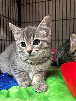 Adopt A Pet :: Antonia  - Moose Jaw, SK