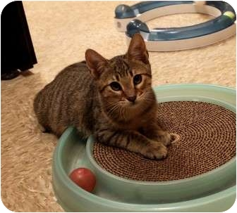 Domestic Shorthair Kitten for adoption in Nolensville, Tennessee - Maui