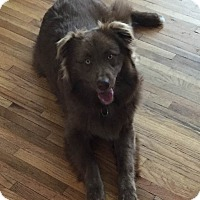 Adopt A Pet :: Bear - Minneapolis, MN