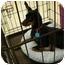 Photo 2 - Miniature Pinscher Dog for adoption in Cocoa, Florida - Tazor