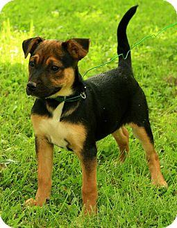 German Shepherd Dog Mix Puppy for adoption in Spring Valley, New York - Madison