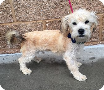 Havanese Dogs For Adoption