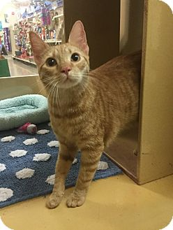Domestic Shorthair Cat for adoption in Houston, Texas - Prince Harry