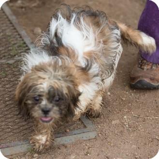 Sterling Ks Shih Tzu Meet Tramp A Pet For Adoption