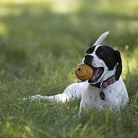 Adopt A Pet :: Weenie - Wood Dale, IL