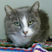 Domestic Shorthair/Domestic Shorthair Mix Cat for adoption in Fairfax Station, Virginia - Dandelion