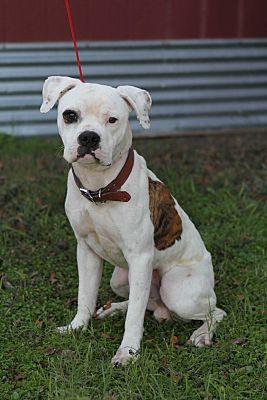 Killeen Tx American Bulldog Meet Winston A Pet For Adoption