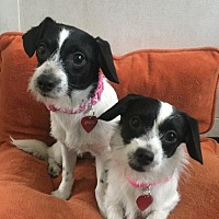 Adopt A Pet :: TuTu and Freckles - BONDED SISTERS - Tomball, TX