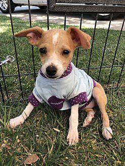 Adopt A Pet :: January, Cutest puppy ever  - Corona, CA