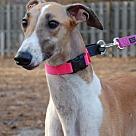 Adopt A Pet :: Superior Capella 'Stella'