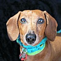 Adopt A Pet :: Charlie Augustine - Houston, TX