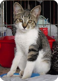 Domestic Mediumhair Kitten for adoption in Lisbon, Ohio - Jessie - ADOPTED!