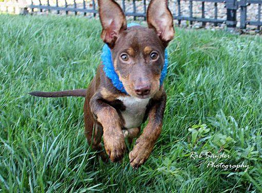 Doberman Puppies In Fort Wayne Indiana - Find Best 4k ...