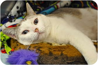 Siamese Cat for adoption in Foothill Ranch, California - Abby