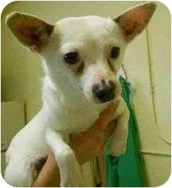 Chihuahua Mix Dog for adoption in Yuba City, California - Boba