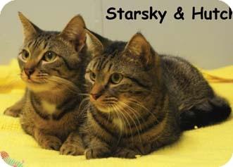 Domestic Shorthair Kitten for adoption in Merrifield, Virginia - Starsky & Hutch