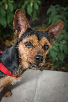 Chihuahua/Terrier (Unknown Type, Small) Mix Dog for adoption in New York, New York - Lila