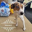 Adopt A Pet :: Malakili