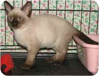 Dallas Tx Tonkinese Meet Romulus And Remus A Pet For Adoption