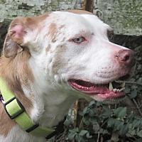 Adopt A Pet :: Sheba - Germantown, MD