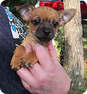 Terrier (Unknown Type, Small)/Chihuahua Mix Puppy for adoption in Hagerstown, Maryland - Tiny Terriers Itsy,Bitsy,Mitsy