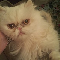 Persian purebred & purrbaby cat rescue