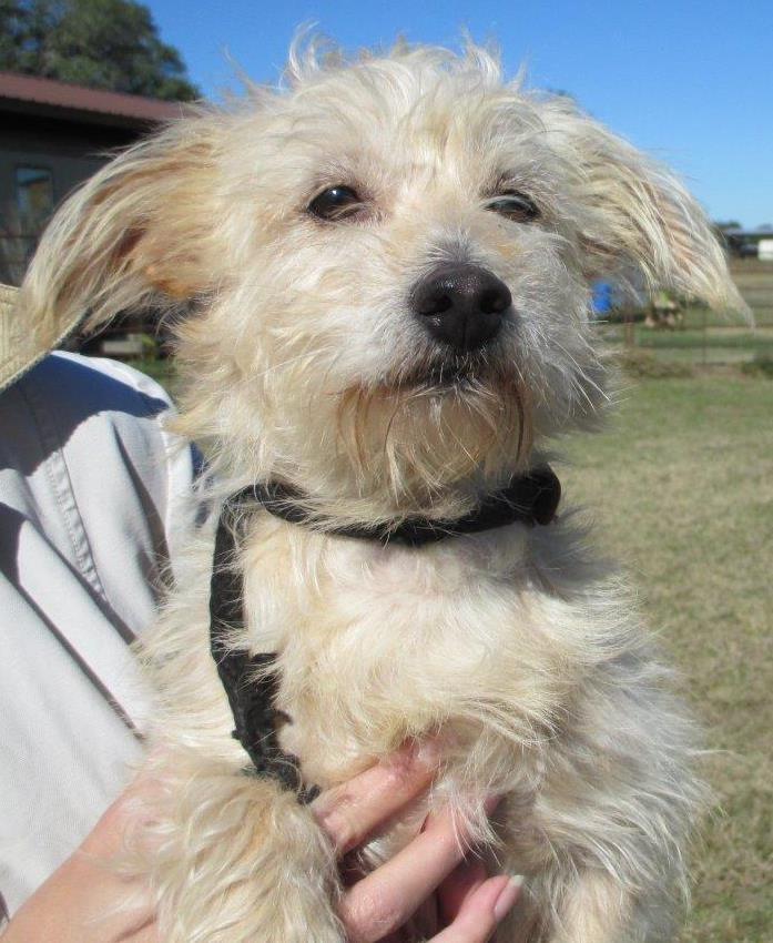 Madison, WI - Westie, West Highland White Terrier  Meet Trey