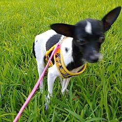 Rose Glen North Dakota ⁓ Try These Texas Chihuahua Rescue