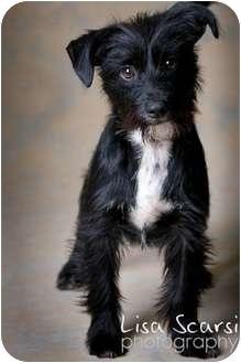 Dog Adoption Schnauzer